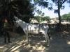 feagas_luque_asno_andaluz8.jpg